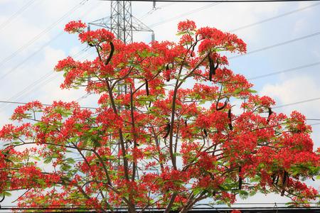 subtropics: Phoenix o Phoenix Poinciana, � una specie di piante da fiore nei tropici o subtropicali vivono.