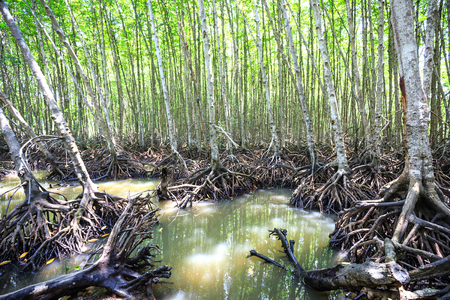 mangroves: Mangroves forest in Can Gio, Ho Chi Minh City, Vietnam Stock Photo