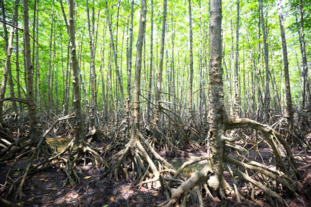 animal health: Mangroves forest in Can Gio, Ho Chi Minh City, Vietnam Stock Photo