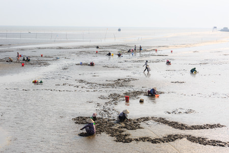 Cangio, Ho Chi Minh City, Vietnam - June 28, 2015 - Farmers are going groping the catch clams, sea scallops Gio, HoChiMinh City, Vietnam Editorial