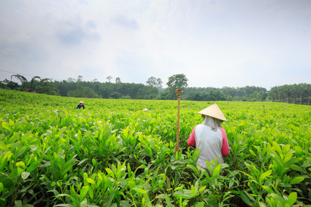 earthly: Dong Nai, Vietnam - July 25, 2015: women cutting the bud of melaleuca trees for seddling in Dong Nai, Vietnam. Dong Nai province is in south Vietnam. Editorial