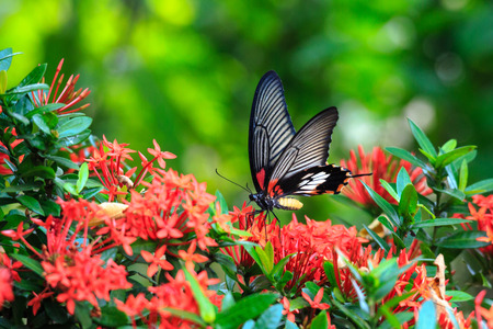 Close up of mail related to perching on red butterfly great Mormon Ixora flower