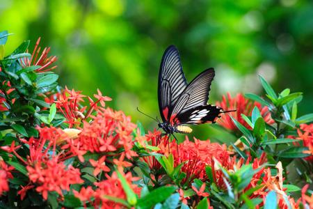 Close-up van de post in verband met zitstokken op rode vlinder grote Mormon Ixora bloem