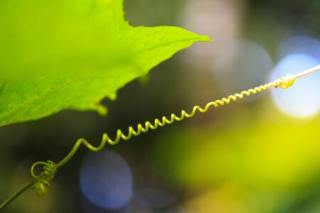spiraling: spiraling tendril from Ivy Gourd Stock Photo