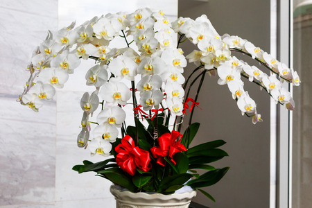 potted: white potted orchids