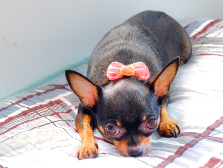 chihuahua dog wearing a bow