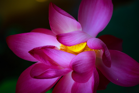 asian culture: artistic beauty of the lotus. Lotus flower is a symbol print important, Asian culture. Stock Photo