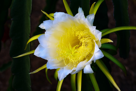 androecium: Blossom white flower of dragon fruit, night blooming flower. Stock Photo