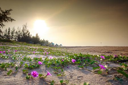 나팔꽃 나폴리 aquatica 꽃 태양 또는 해변 스톡 콘텐츠
