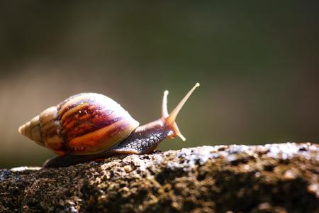 Hermaphrodite: snail crawling on rocks