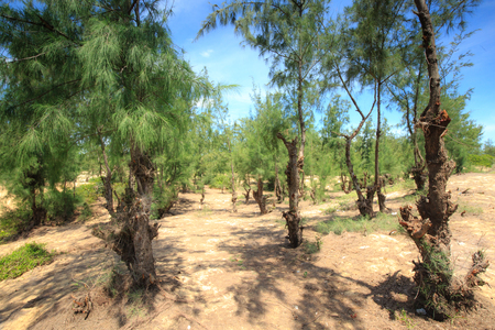 ironwood: Casuarina pine tree