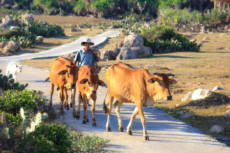 grazing land: Phu Yen Province, Vietnam - August 16, 2015: Cows to his leading a free Farmers printed eating dry grazing land, the weather in August is hot and no rain over very little grass for cattle