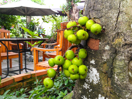 ficus: ficus fruits on the tree Stock Photo