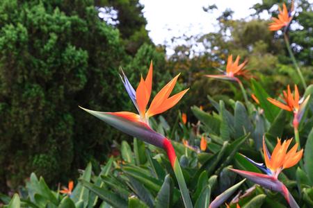 bloom bird of paradise: Beautiful bird of paradise flower on forest background