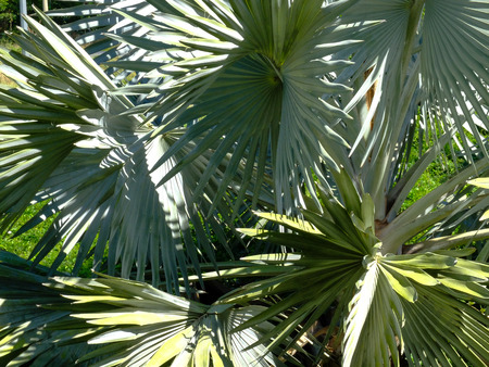 close-up image of leaves of a big tree Silver Saw Palmetto palm in a green park.