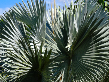 palmetto: close-up image of leaves of a big tree Silver Saw Palmetto palm in a green park.