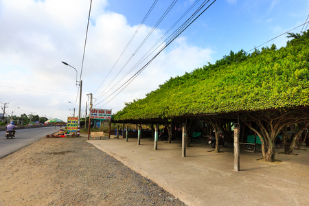 ins: Long An province, Vietnam - December 11, 2015 - a funny little cafe, ficus benjamina trees trimmed its roof from the main road leading to the Mekong Delta located on. The trunks of the tree are columns, and ask for Their leaves are trimmed roof ins like r Editorial