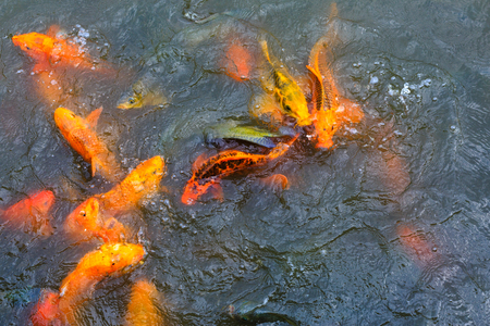 gi: carp or fancy carp, carp am also known as fancy, a freshwater fish of the carp. Japanese Koi gi Stock Photo