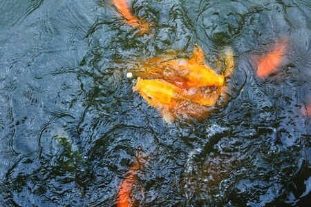 japanese koi carp: carp or fancy carp, carp am also known as fancy, a freshwater fish of the carp. Japanese Koi gi Stock Photo