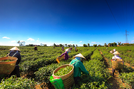 loc: Lam Dong province, Vietnam - December 31, 2015: Unidentified females with hats harvesting tea on the field print Bao Loc, Lam Dong, Vietnam. There are many fields in Lam Dong province tea Editorial