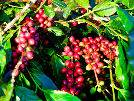 ch: Coffee beans on the branch, coffee bean ripening on tree with sunlight. Stock Photo