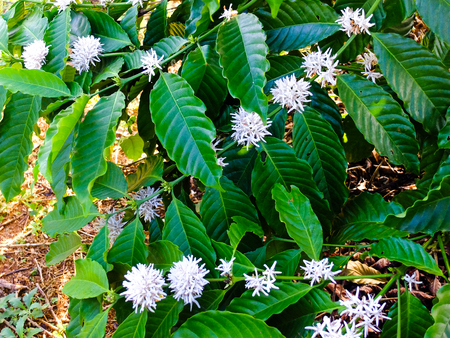 bush to grow up: Coffee tree blossom with white color flower