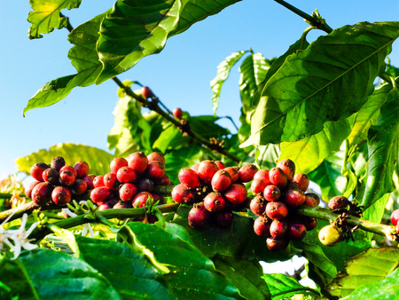 kona: Coffee beans on the branch, coffee bean ripening on tree with sunlight. Stock Photo