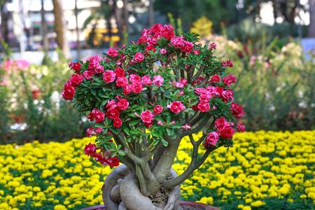 desert rose: Adenium obesum Desert Rose; Impala Lily; Mock Azalea