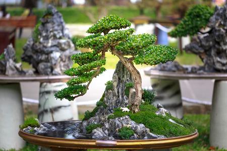 bonsai tree: bonsai tree in garden