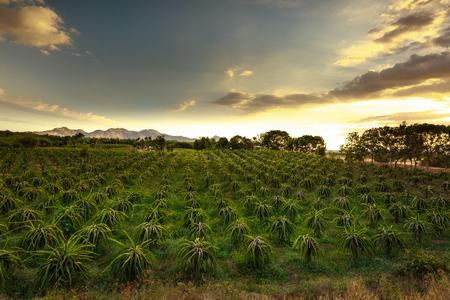 plantando arbol: campo de la plantación de árboles frutales fruta de dragón en la provincia de Binh Thuan, Vietnam