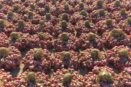 stockpile: After being dried onion harvest on the field under the sun, then entered the stockpile of farmers in Ninh Thuan Stock Photo