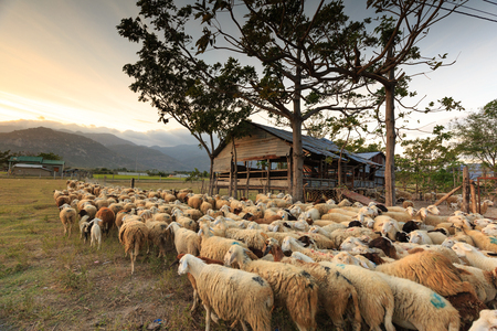 sheep barn: The sheeps are back to the barn at sunset. Images at a sheep farm on the prairie plains in Ninh Thuan Province, Vietnam Stock Photo
