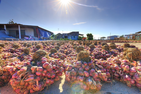 stockpile: Ninh Thuan Province, Vietnam - February 27, 2016: After being dried onion harvest on the field under the sun, then entered the stockpile of farmers in Ninh Thuan Editorial