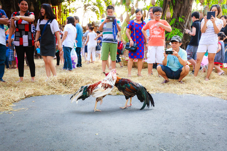 cockfighting: Hochiminh City, Vietnam - March 5, 2016 : traditional cockfighting is a scene activity from daily life in the villages of Vietnam is performaced in culinary fair of the Van Thanh tourist area Ho Chi Minh City. Cockfighting is a very old tradition in villa