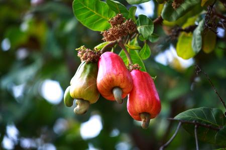 Cashew fruit (Anacardium occidentale) hanging on tree Foto de archivo