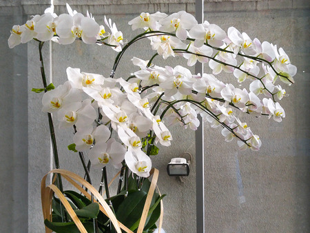 zen interior: Beautiful White Orchids in a pot on the table in the room Stock Photo
