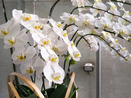 orchid house: Beautiful White Orchids in a pot on the table in the room Stock Photo