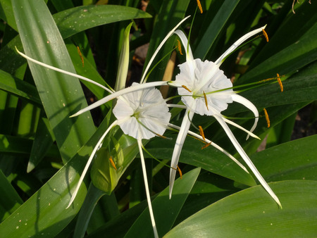 spider lily: Crinum Lily, Cape Lily, Poison Bulb, Spider Lily Stock Photo