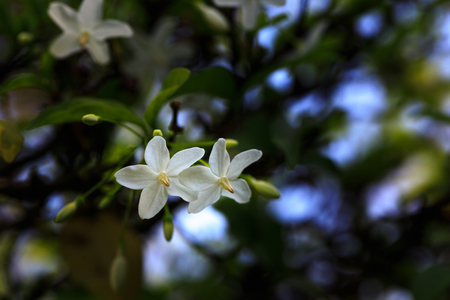 apocynaceae: Wrightia religiosa (Apocynaceae), Wild Water Plum flowers White flowers with green nature background, flowers with blur background, Stock Photo
