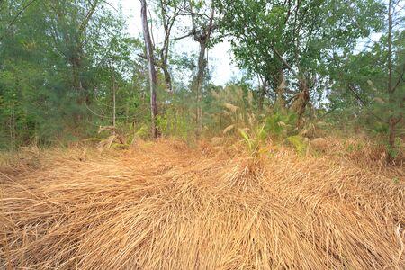 phu: Dry grass on Island Phu Quoc. VietNam