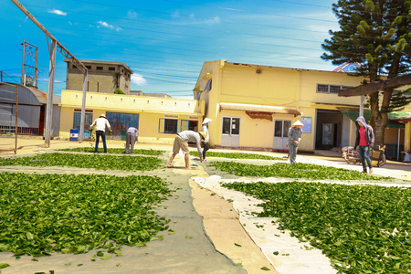 tea crop: Da Lat City, Lam Dong Province, Vietnam - July 03, 2016 : workers are fresh green tea crop drying on long warm surface inside of tea factory for withering that tea factory where focuses on organic processing Editorial