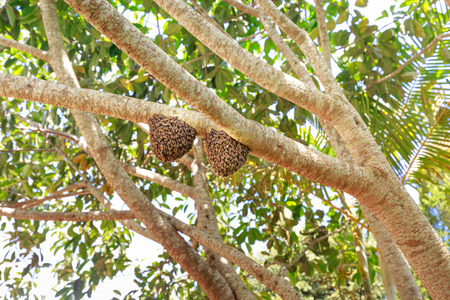 gold capped: Bees and honeycomp on a branch tree