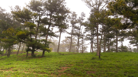 lat: Pine forest with fog in the morning, Da Lat is highland city fog in the morning. Da Lat is one of the beautiful city in Viet Nam.