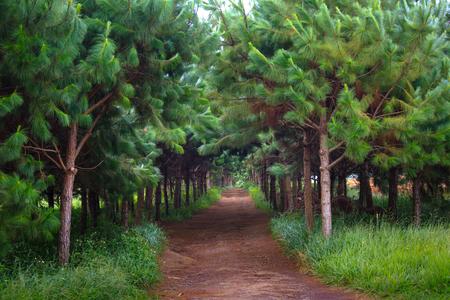 Rode onverharde weg binnen een grenen plantage