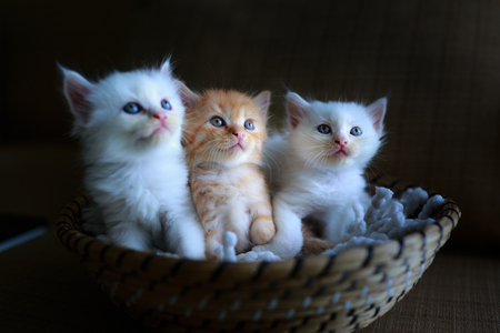Three pretty and cute kitten sitting in a basket