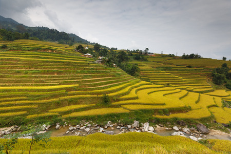 Terraced rice field in Hoang Su Phi in Ha Giang province in Vietnam. A very nice view of ripe rice in the high mountain terraced fields in northwestern Vietnam. ready for big harvesting
