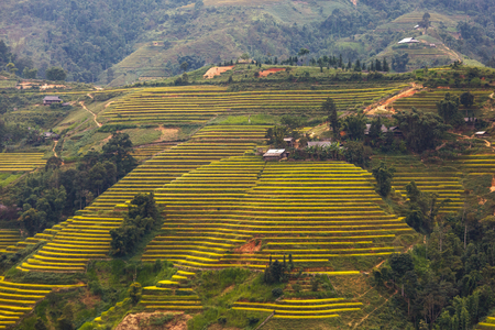 ha giang: Terraced rice field in Hoang Su Phi in Ha Giang province in Vietnam. A very nice view of ripe rice in the high mountain terraced fields in northwestern Vietnam. ready for big harvesting
