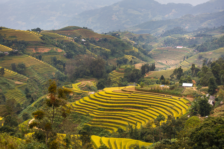 Terraced rice fields in Hoang Su Phi in Ha Giang province in Vietnam. Ripe rice in the high mountain terraced fields in northwestern Vietnam in nice landscapes. ready for big harvesting