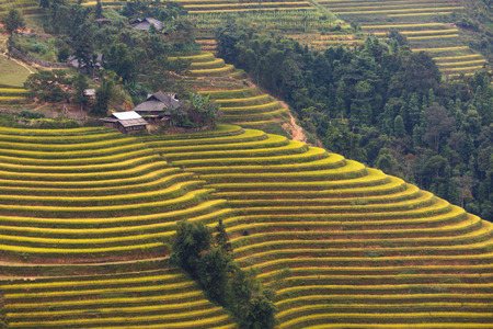 ha giang: Terraced rice fields in Hoang Su Phi in Ha Giang province in Vietnam. Ripe rice in the high mountain terraced fields in northwestern Vietnam in nice landscapes. ready for big harvesting