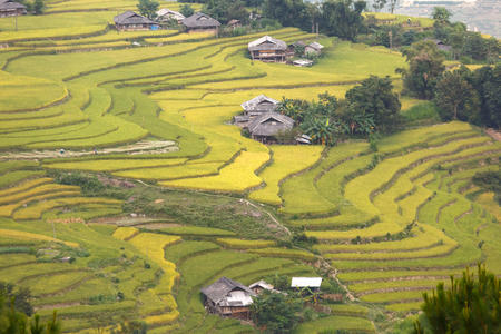 terraced rice fields in Hoang Su Phi in Ha Giang province in Vietnam. Ripe rice in the high mountain terraced fields in northwestern Vietnam. ready for big harvesting Stock Photo